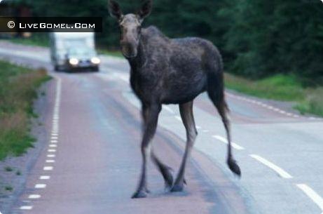 По дороге Песочная Буда - Грабовка лось стал причиной ДТП
