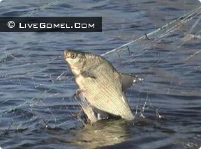 Выявленные нарушения правил рыболовства в период нереста