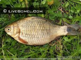 Незаконная добыча озерно-речной рыбы р. Днепр, вблизи г.п. Стрешин