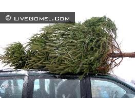 Приобретаем новогоднее дерево в Гомеле